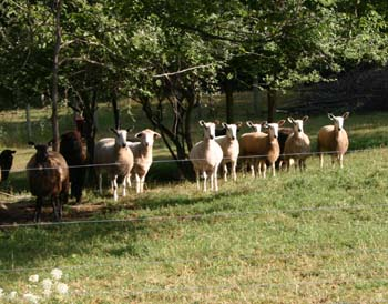 Most of the BFL ewe flock (with a Romney or two)