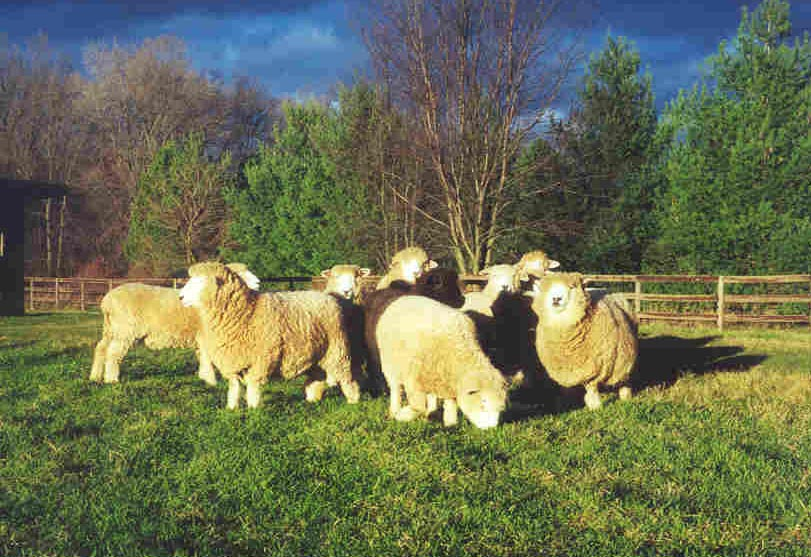 Ewes in fall