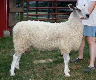 Ram lamb at five months of age