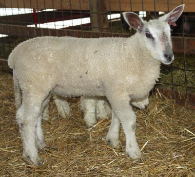 PFR 635, ram lamb. 50 pounds at 30 days. No joke.