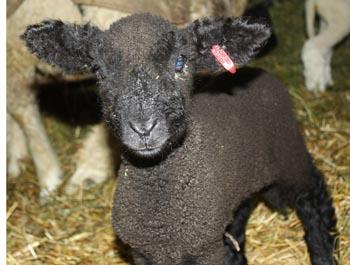 Brand-new ewe lamb
