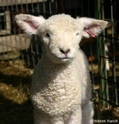 Impossibly cute lamb