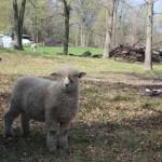 Pitchfork ewe 1139