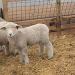 Pitchfork ewe 1176