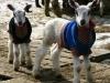 Fast-growing BFL lambs