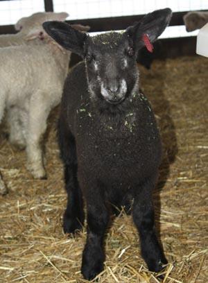 PFR 623, ram lamb