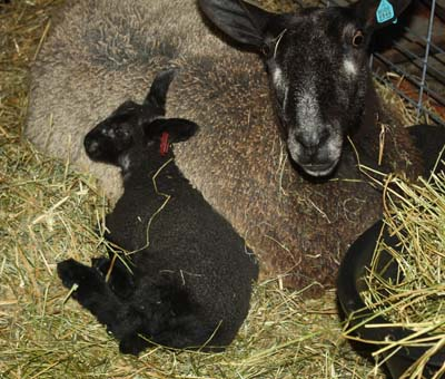PFR 624, ram lamb. His brother, 623, is tucked behind mom.