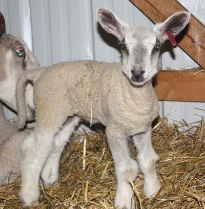 PFR 625, ewe lamb, at 2 days