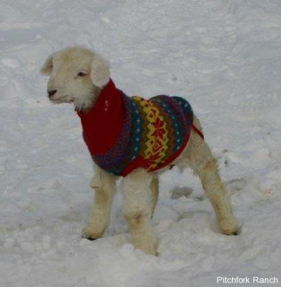 Warm orphan lamb